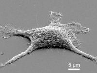 Cercetatorii au creat celule  zombie , care traiesc si dupa ce mor