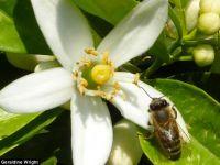 Cofeina, ajutorul albinelor din timpul polenizarilor