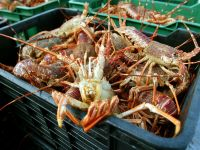 Cresterea temperaturii apelor indeamna crabii la acte de canibalism VIDEO