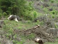 Copacii au tulpini modificate, din cauza accidentului de la Cernobil