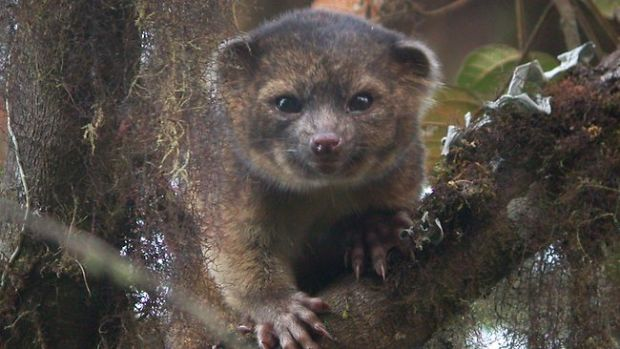 O noua specie de mamifere, descoperitata de cercetatori: olinguito