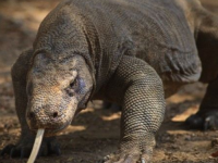 Reptilele ar putea mosteni Pamantul . Specia capabila sa supravietuiasca unei catastrofe globale