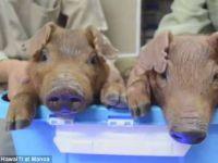 Oamenii de stiinta au creat primii porci stralucitori prin utilizarea ADN-ului meduzelor VIDEO