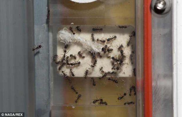 800 de furnici vor locui impreuna cu astronautii de pe Statia Spatiala Internationala