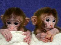 Maimute facute  la comanda . Cercetatorii le-au fabricat un anumit ADN