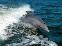 Discutiile delfinilor, traduse in engleza cu ajutorul unui dispozitiv