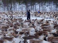 Efectul dramatic al dezastrului de la Cernobil! Ce se intampla cu renii de langa Polul Nord