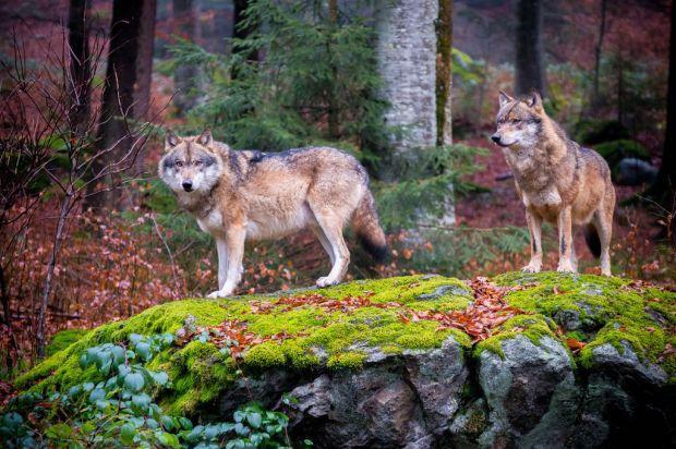 Fenomenul care ii uimeste pe cercetatori: ce se intampla cu lupii de langa Cernobil?