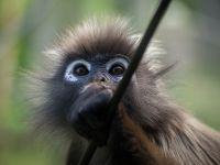 Cercetatorii chinezi au clonat in premiera mondiala doua maimute