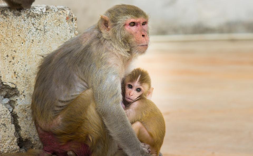 Cercetătorii au creat maimuțe modificate genetic. Creierul animalelor s-a dezvoltat similar cu al oamenilor
