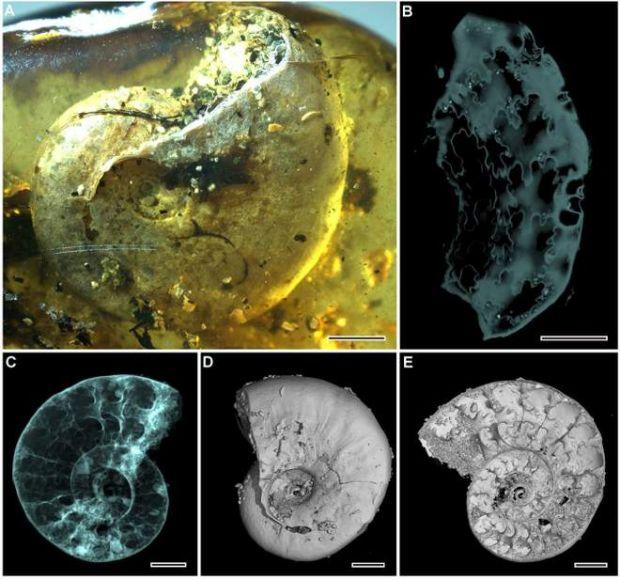 Premieră în știință: o fosilă de 99 de milioane de ani a fost descoperită în chihlimbar