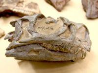 O specie de dinozaur necunoscută până acum, descoperită de cercetători. Unde se bdquo;ascundeau  indiciile