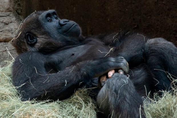 Fotografia fascinantă care dovedește, încă o dată, asemănarea dintre om și primate. Cum arată o gorilă care suferă de vitiligo