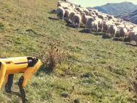 VIDEO. Roboții Boston Dynamics, bdquo;puși la treabă  pe câmp, să păzească oile