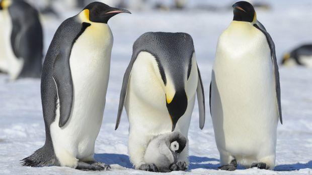 De unde provin, de fapt pinguinii. Concluzia surprinzătoare despre originea îndrăgitelor animale