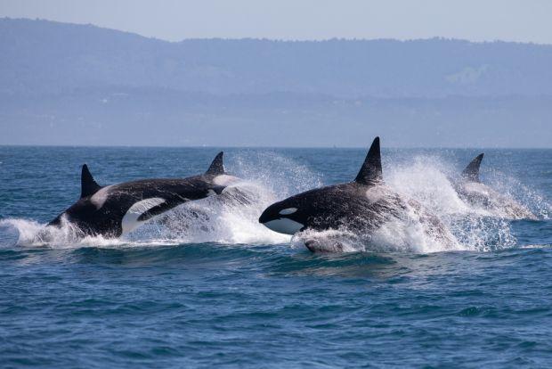 Date îngrijorătoare: 50% din populația de balene și delfini de pe Pământ ar putea dispărea din cauza oamenilor