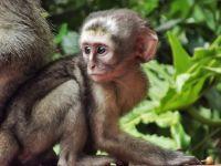 bdquo;Planeta Maimuțelor  devine realitate. Experimentul controversat prin care se implantează celule umane în creierul primatelor