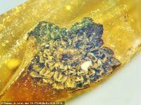 Surpriză uriașă pentru cercetătorii care analizau un chihlimbar de acum 100 de milioane de ani. Ce au descoperit