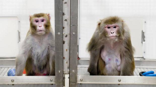 Prima maimuță care poate juca jocuri video telepatic, după ce i-a fost implantat un cip în creier