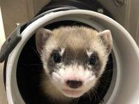Cercetătorii americani au clonat pentru prima dată un exemplar dintr-o specie pe cale de dispariție