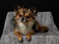 De ce sunt câinii mici foarte agresivi? Iată explicațiile cercetătorilor