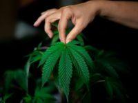 Cannabis, una dintre primele plante cultivate din lume. Când a fost folosită prima dată?